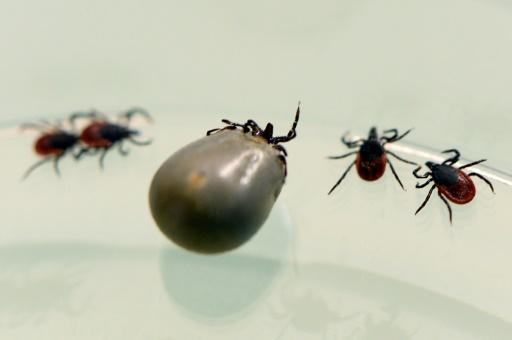 Maladie de Lyme: les symptômes inexpliqués doivent être pris en charge