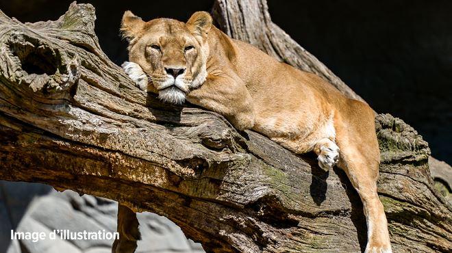 La lionne évadée de son enclos au parc de Planckendael a été abattue 1