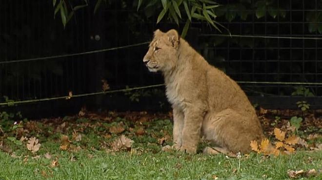 La lionne évadée de son enclos à Planckendael a été abattue car elle arrivait à proximité de visiteurs