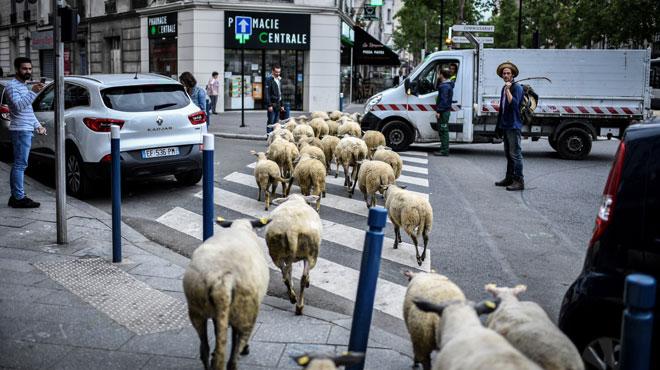 Scène surréaliste aux portes de Paris: des brebis et leurs bergers s'engouffrent sur le passage piéton, les passants ébahis