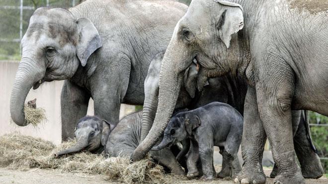 Tarzen, un éléphanteau, est mort à Planckendael: c'est le troisième éléphant mort en deux mois dans le zoo