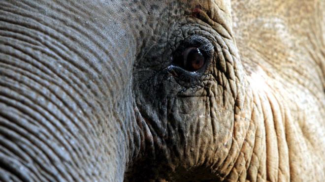 Un homme encerclé et piétiné à mort par 5 éléphants en Thaïlande