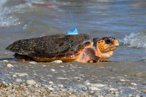 Six tortues caouannes relâchées en mer après des mois de soins