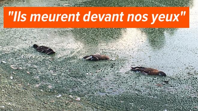 D'abord des poissons, puis des canards morts, les habitants de Wemmel sont inquiets: quelle est l'origine de cette hécatombe?