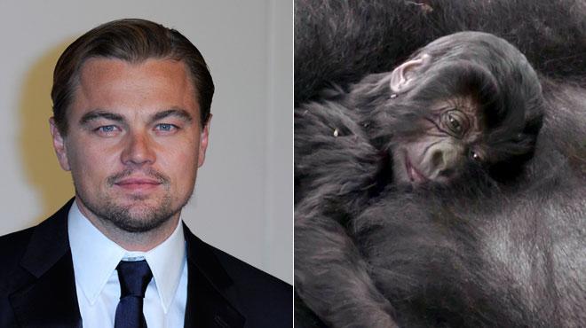 Leonardo DiCaprio inquiet pour le parc des Virunga au Congo: les derniers gorilles de montagne en danger à cause d'un projet pétrolier