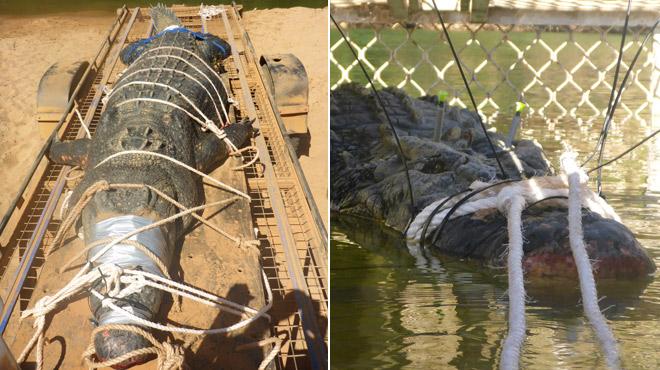 Après huit ans de traque, un énorme crocodile d'une soixantaine d'années a été capturé en Australie