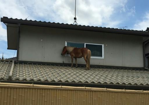 Japon: une jument miniature sauvée des eaux, après plusieurs jours sur un toit