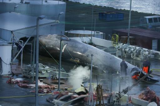 Le harponnage d'un cétacé en Islande fait polémique