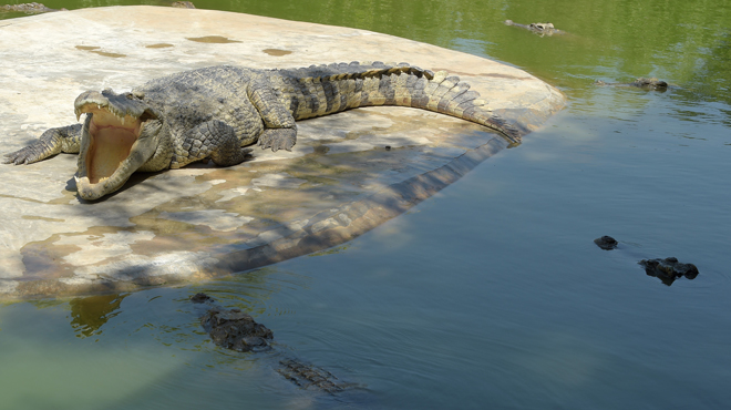 Une foule en colère massacre près de 300 crocodiles — Indonésie