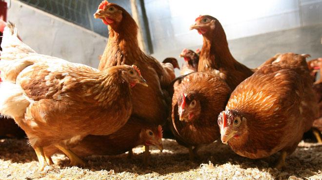 Un nouveau cas de la maladie de Newcastle détecté dans un élevage de volailles en Flandre