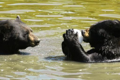 Démantèlement d'un réseau de braconnage d'ours noirs — Canada