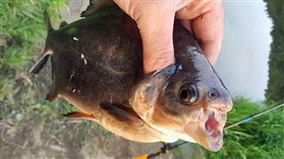 Réputé pour croquer les testicules, ce cousin des piranhas a été pêché par un ami de Fabrice dans un affluent de la Semois à Herbeumont! 4