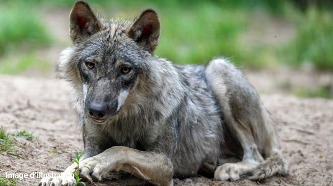 La présence d'un loup dans les Fagnes est confirmée