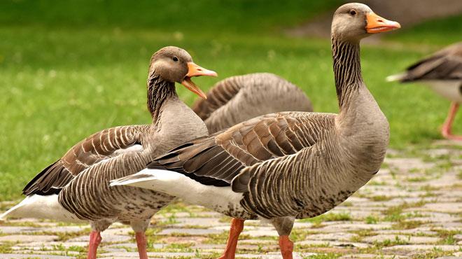 La Flandre prend une décision contre le gavage et l'élevage d'animaux à fourrure: