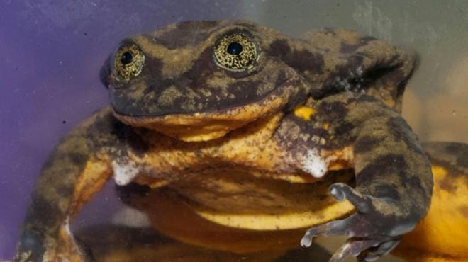 Il devient urgent pour Romeo, la dernière grenouille de son espèce, de trouver sa Juliette