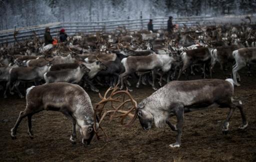 Sécheresse et feu, nouveau fléau pour les éleveurs de rennes suédois