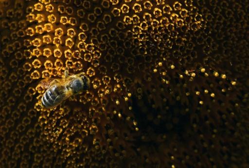 Mortalité des abeilles: aide de 3 millions d'euros pour les apiculteurs français