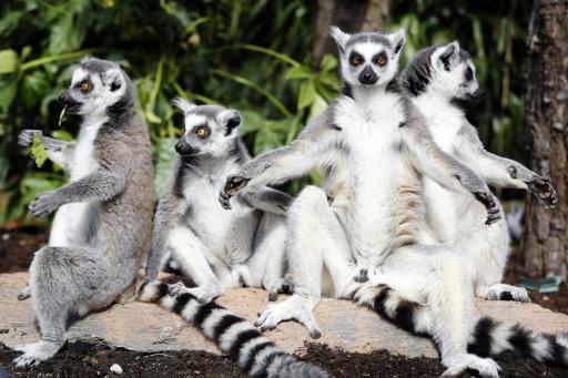 95% des lémuriens menacés d'extinction selon des défenseurs de l'environnement
