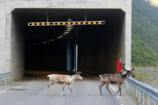 Records de chaleur dans l'Arctique : les rennes envahissent les tunnels