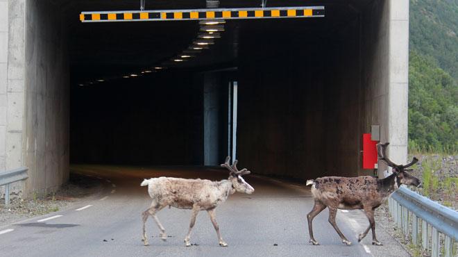 Records de chaleur dans l'Arctique: les rennes envahissent les tunnels pour y trouver de la fraîcheur