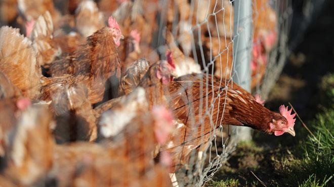 Un nouveau cas de la maladie de Newcastle détecté chez un détenteur amateur de volailles à Momignies