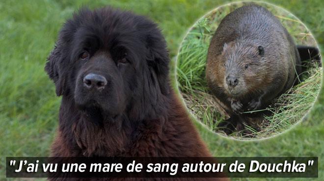 Un jeune chien attaqué par 4 castors à Aywaille: que s'est-il passé?