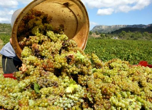 Vendanges 2018 en France: le suspense météo jusqu'au jour de la récolte