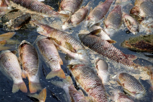 Des milliers de poissons asphyxiés par un rejet du géant sucrier Tereos