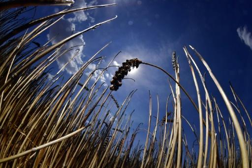 Flambée du blé: pas de panique pour la sécurité alimentaire, selon les experts