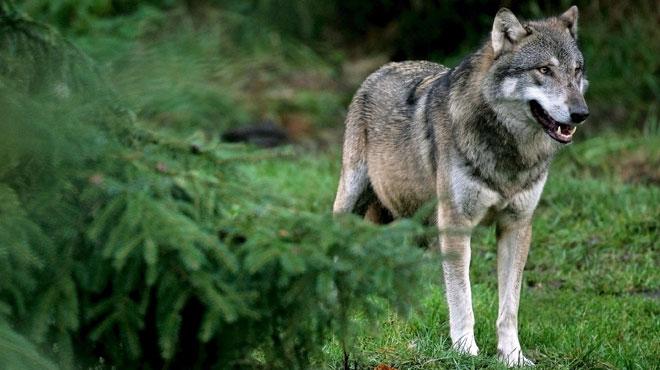 Un loup à nouveau actif en Belgique: 9 moutons ont été tués