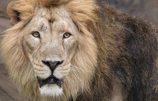 Aux Pays-Bas, des diffuseurs répandant l'odeur des excréments de lions vont être utilisés: voici pourquoi