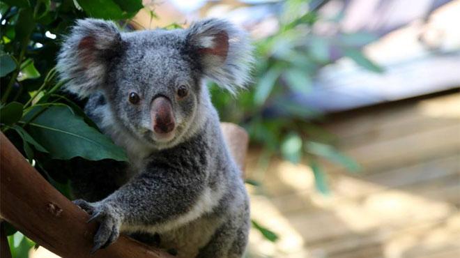Coup dur pour Pairi Daiza: le parc perd son deuxième koala en à peine trois semaines