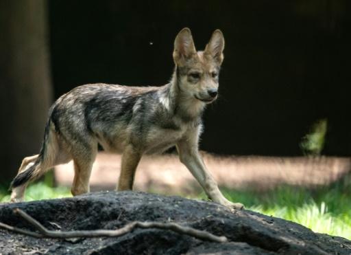 Présence d'un loup hybride dans les Pyrénées-Atlantiques