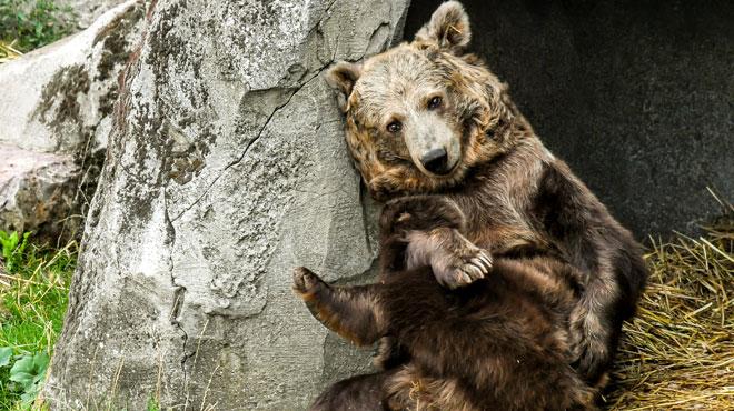Kiwi, l'ourson vedette du film culte L'Ours, vit-il dans des conditions indignes dans un zoo?