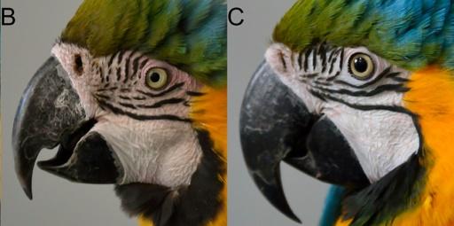 Les perroquets qui rougissent d'émotion, un nouveau mystère animalier