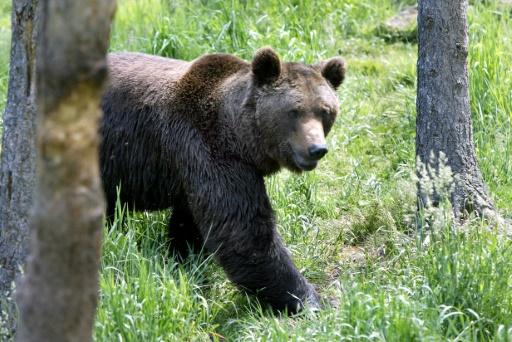Pyrénées: une majorité favorable à la réintroduction de l'ours, selon les pouvoirs publics