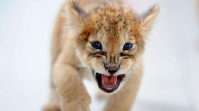 Le lionceau découvert dans un appartement de banlieue parisienne relâché en Afrique du Sud: il coule désormais des jours heureux