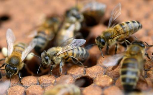 Néonicotinoïdes interdits: les abeilles pas sauvées pour autant