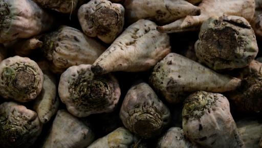 Face à l'interdiction des néonicotinoïdes, les planteurs de betteraves sans