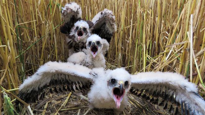 Un ornithologue découvre les cadavres de 13 rapaces à Givry, des espèces rares et protégées: une plainte a été déposée