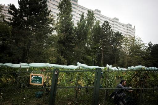 Les Parisiens vendangent leurs vignes