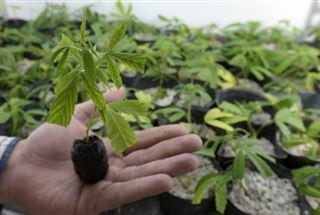 En Uruguay, premières gorgées d'un maté au cannabis