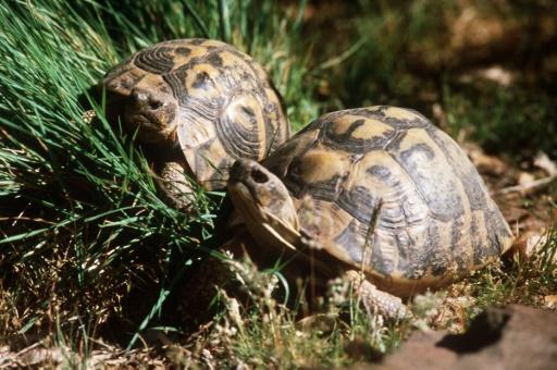 56 tortues d'une espèce protégée volées dans un parc animalier en Corse