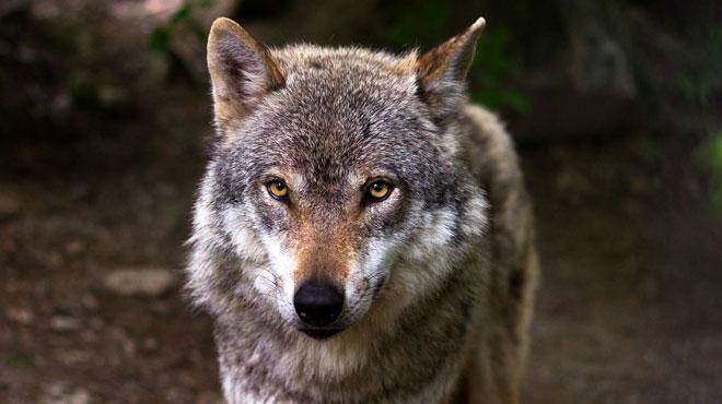Le loup est de retour en Wallonie... depuis plus longtemps qu'on ne le pense