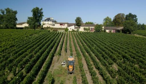 Vendanges à Bordeaux: qualité mais quantité réduite par la grêle et le mildiou
