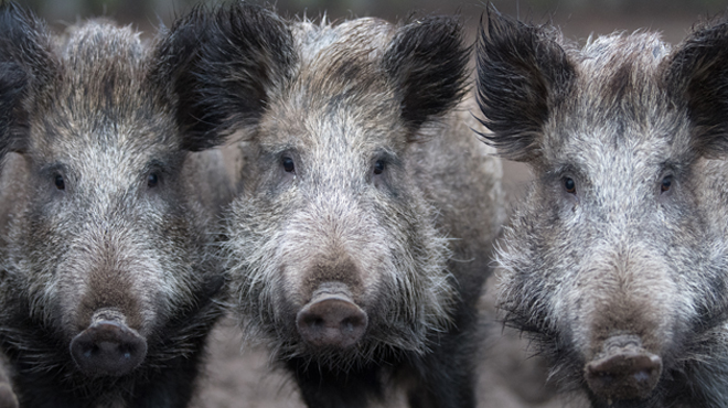 Peste porcine: l'origine de l'infection des sangliers identifiée?