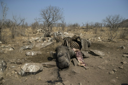 Afrique du Sud: indignation après la libération d'un trafiquant de rhinocéros