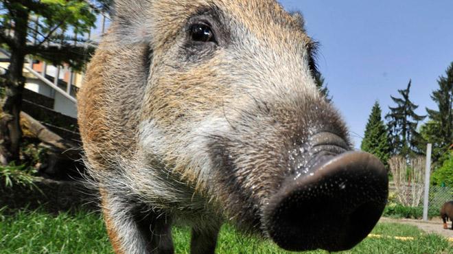 Peste porcine: nouvelle réunion de crise aujourd'hui sur les mesures pour éviter la contamination