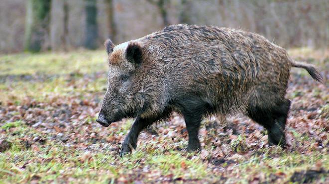 Un chasseur accuse un autre chasseur d'avoir importé chez nous des sangliers malades d'Europe de l'Est: