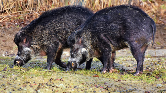 Peste porcine: 1 sanglier supplémentaire contrôlé positif, le bilan passe à 6